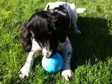 Bailey the Springer Spaniel